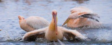 Natation de pélican dans l'eau dans tout le pulvérisateur de Lac Nakuru kenya l'afrique Photographie stock