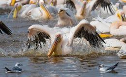 Natation de pélican dans l'eau dans tout le pulvérisateur de Lac Nakuru kenya l'afrique Images stock