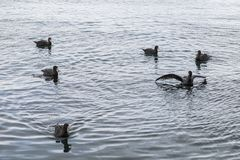 Natation de p?trel g?ant dans le fjord Ushuaia l'argentine photo stock