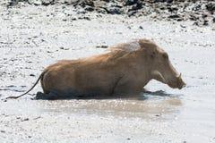 Natation de phacochère dans l'eau boueuse Images stock
