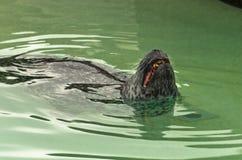 Natation de phoque de port d'Atlantique nord dans une eau et des teeths d'apparence tout en baîllant Image stock
