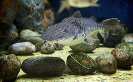 Natation de poisson-chat par des roches de somo Image libre de droits