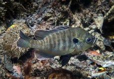 Natation de poisson de soleil - ressorts d'Ichetucknee Image stock