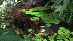 Natation de poisson rouge dans un étang de lis banque de vidéos