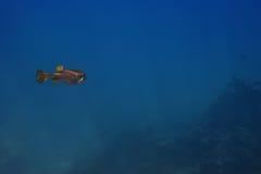 Natation de poissons au-dessus du récif coralien Photo libre de droits