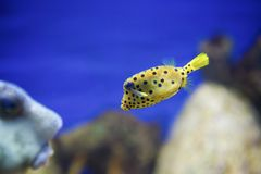Natation de poissons de boîte de jaune de Samall Photos libres de droits