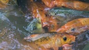 Natation de poissons de carpe dans l'étang à l'exploitation de pisciculture Natation de carpe de Koi dans l'eau à la ferme d'anim banque de vidéos