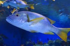 Poissons d'océan Photo libre de droits