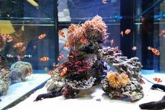 Natation de poissons de clown Photo stock