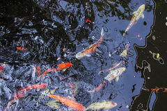 Natation de poissons de Koi dans l'étang Photo stock