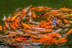 Natation de poissons de Koi dans l'étang Images libres de droits