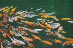 Natation de poissons de Koi dans l'étang Photographie stock