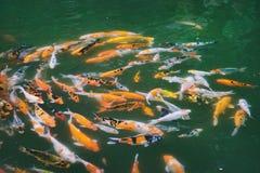 Natation de poissons de Koi dans l'étang Images stock