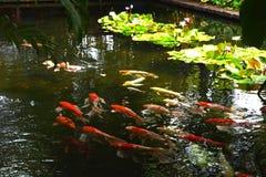 Natation de poissons de Koi de tache floue dans le jardin de l'eau Image stock