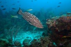 Natation de poissons de mérou Images stock