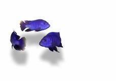Natation de poissons en cercle Photo libre de droits