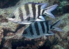 Natation de poissons en Mer Rouge Image libre de droits