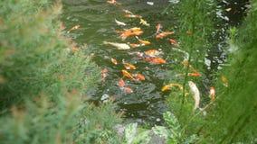Natation de poissons de Koi dans l'?tang clips vidéos
