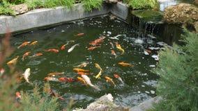 Natation de poissons de Koi dans l'?tang banque de vidéos
