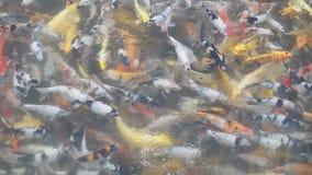Natation de poissons de Koi dans les ?tangs clips vidéos