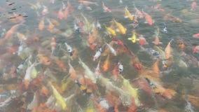 Natation de poissons de Koi dans les ?tangs banque de vidéos