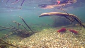 Natation de poissons sous l'eau 4k banque de vidéos