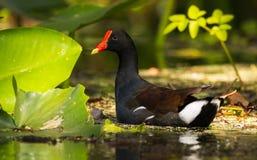 Natation de poule d'eau de la Floride photos stock