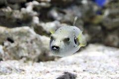 Natation de Pufferfish dans un aquarium Photographie stock