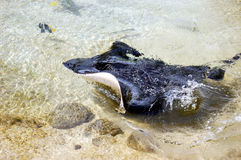 Natation de raie de Manta dans l'eau claire images libres de droits