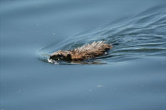 Natation de rat musqué dans un lac Image stock
