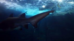 Natation de requin dans l'aquarium banque de vidéos