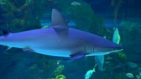 Natation de requin dans le grand aquarium d'eau de mer clips vidéos