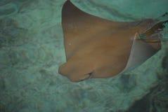 Natation de Stingray dans l'eau Photos stock