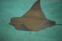 Natation de stingray de Brown dans l'eau Photos stock