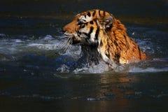 Natation de tigre dans le lac figé image stock