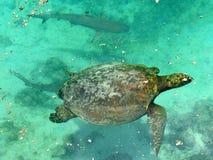 Natation de tortue avec des requins Photo stock