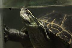 Natation de tortue dans l'aquarium Images libres de droits