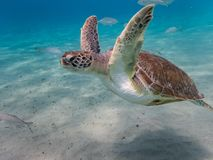Natation de tortue dans l'océan sur le Curaçao Photo libre de droits