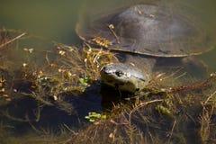 Natation de tortue dans le lac Photo libre de droits