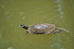 Natation de tortue de bijoux Photographie stock