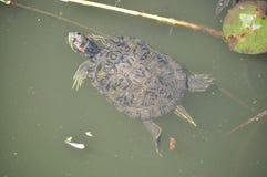 Natation de tortue de bijoux Photographie stock libre de droits