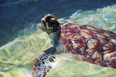 Natation de tortue de mer de bébé Images libres de droits