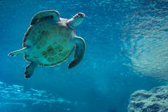 Natation de tortue de mer dans l'aquarium photo stock
