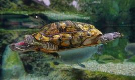 Natation de tortue sur l'étang Photographie stock
