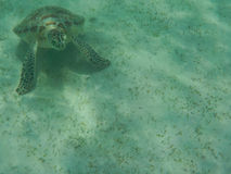 Natation de tortue verte Photos libres de droits