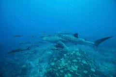 Natation de typus de Rhincodon de requin de baleine au bleu clair comme de l'eau de roche W Photos stock
