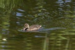 Natation duveteuse de caneton de canard de beauté dans le lac, parc du sud Photographie stock libre de droits