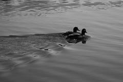 Natation en rivière photographie stock