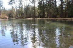 Natation et réflexions de canards sur l'eau Image stock