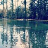 Natation et réflexions de canards sur l'eau Image libre de droits